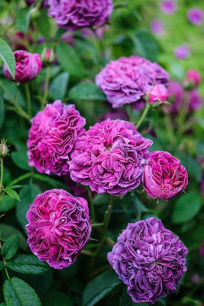 Rosa 'James Mason'