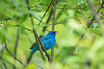 Male indigo bunting in the thick cover of a northern Wisconsin woodland.