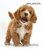 Kim, ANIMALS, REALISTISCHE TIERE, ANIMALES REALISTICOS, fondless, photos,+Cute playful Cockapoo puppy,++++,GBJBWP41926,#a#