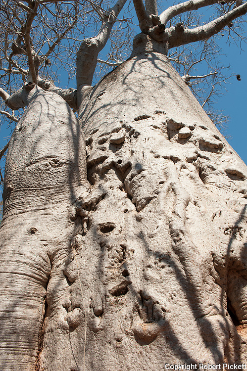 Baobab Tree, Adansonia rubrostipa, 1,200 years old, in spiny forest, Reniala Nature Reserve, Ifaty, Madagascar