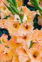 Gladiolus 'Orange King' gladioli summer flowering bulb