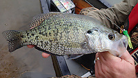 NWA Democrat-Gazette/FLIP PUTTHOFF <br /> Paddling a canoe around a single cove produced a nice catch of crappie, plus seven other species of fish. Jon Stein, fisheries biologist with the Arkansas Game and Fish Commission, shows a crappie he caught on the trip April 22, 2016 in the Pine Creek arm of Beaver Lake.