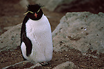 Portrait of a rockhopper penguin on New Island in the Falkland Islands.