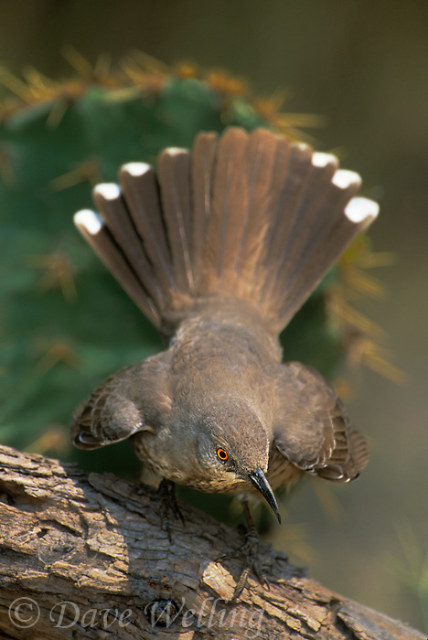 581990001 a wild curve-billed thrasher toxostoma curvirostre perches on a log while flaring its tail feathers in the rio grande valley of south texas