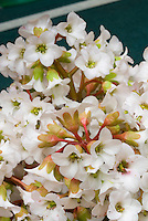 Bergenia 'Morning Light' aka 'Morgenrot' aka Morninglight, white flowers in spring