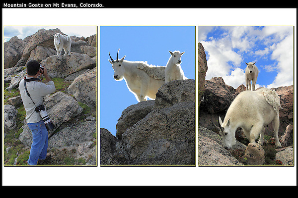 Photographer and Mountain Goats, Mt Evans, Colorado. .  John leads private, wildlife photo tours throughout Colorado. Year-round. .  John leads private photo tours in Boulder and throughout Colorado. Year-round.