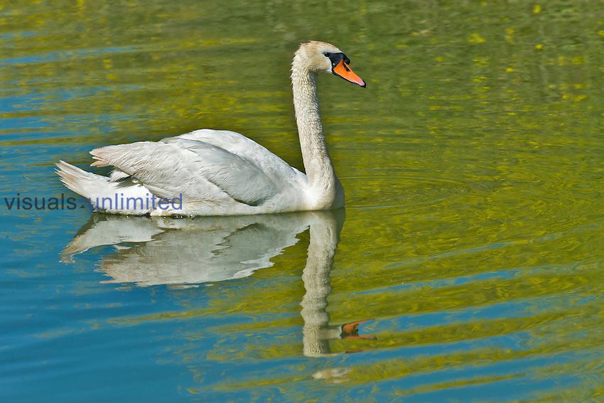 Mute Swan (Cygnus olor), California, USA