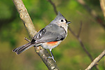 A Small Bird, The Tufted Titmouse Warily Looking, Parus bicolor