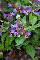 Echtes Lungenkraut, Kleingeflecktes Lungenkraut, Pulmonaria officinalis, Lungwort, Soldiers-amd-Sailors, Spotted Dog, Pulmonaire officinale