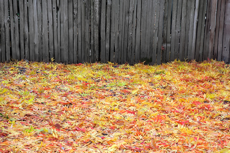 Fall colred ash leaves and picket fence in Jacksonville, Oregon