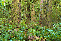 Old growth temperate rain forest in Cathedral Grove. McMillan Provincial Park. British Columbia, Canada<br />