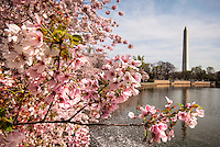 Cherry Blossoms Washington DC<br /> Washington Monument Cherry Blossoms blooming around the Tidal Basin, National Mall , and US Capitol in Washington DC symbolize the natural beauty of our Nation's Capital City and has become part of Washington DC's rite of Spring.  Landmarks include the Jefferson Memorial, Washington Monument, and US Capitol.  A popular tourist attraction and travel destination for many visiting Washington DC.