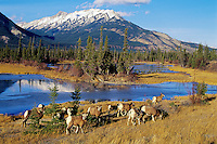 Bighorn Sheep (Ovis canadensis) herd, Canadian Rockies, fall.