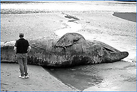Humpback whale beached on Turnagain Arm near Anchorage, Alaska