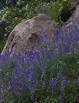 Lupine and Ceanothus, Yosemite