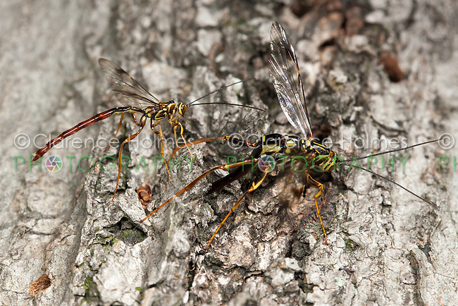 A male Giant Ichneumon (Megarhyssa macrurus) wasp (right) attempts to inseminate a female prior to her emergence in spring from inside a fallen log where she has parasitized a Pigeon Horntail (Tremex columba) larva.  A male M. greenei (left) is part of this same swarm.