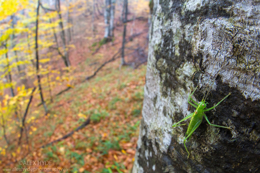 Southern Oak Bush-cricket male {Meconema meridionale}, wide angle view showing woodland habitat. Plitvice Lakes National Park, Croatia. November.