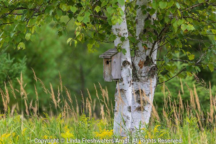 Bluebird house on a birch tree in northern Wisconsin.