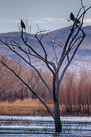 American Bald Eagles resting in a tree at Bosque del Apache Wildlife Refuge in New Mexico.