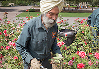 Rabinderpal Dhillon P'09  trims the rose bushes near the Academic Quad on Aug. 6, 2015. Rabinderpal has worked at Oxy for 27 years.<br /> (Photo by Marc Campos, Occidental College Photographer)