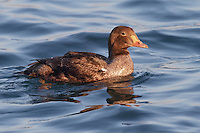 King Eider - Somateria spectabilis - 1st winter male