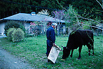 Tomioka, May 2 2012 - Naoto Matsumura, 52, refuses to leave the Fukushima nuclear evacuation zone. Since April 2011, he lives alone in his house without electrcicity and takes care of pets in the area. Feeding a lost cow in front of the neighboors house at dusk.