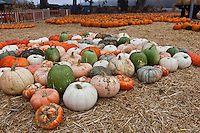 Multicolored, as well as standard orange, pumpkins waiting to be selected for jack-o-lantern duty.