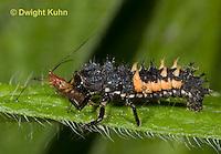 1C02-535z  Asian Ladybug Larva feeding on aphids, Harmonia axyridis