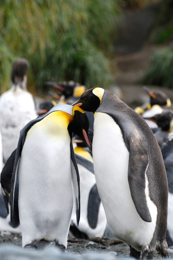 Lovebirds II - King penguins Macquarie Island
