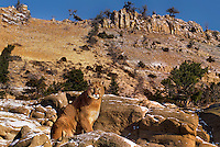 656326383 a captive mountain lion felis concolor sits on a rocky outcrop below a steep mountain face in central montana