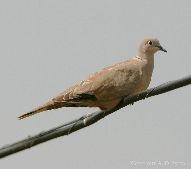 Juvenile Eurasian collared-dove. The collared-dove, an introduced bird, is rapidly spreading.