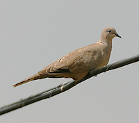 Juvenile Eurasian collared-dove. The collared-dove, an introduced bird, is rapidly spreading.