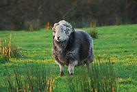 Herdwick tup, Whitewell, Clitheroe, Lancashire...Copyright John Eveson 01995 61280.j.r.eveson@btinternet.com