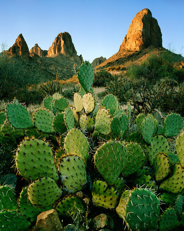 Sunset light on Pricklypear cacti in the Superstition Mountains; Tonto National Forest, AZ