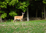 White tail doe in Rose Valley, Lycoming County, PA.