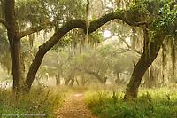 Live oaks draped in Spanish moss at sunrise, Circle B Bar Reserve, Polk County, near Lakeland, FloridaFootpath beneath Live oaks draped in Spanish moss at sunrise, Circle B Bar Reserve, Polk County, near Lakeland, Florida