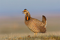 "Male greater Prairie-Chicken (Tympanachus cupido) giving a ""Whoop"" call on a lek. ""Whoop"" calls are generally uttered when females are present. Ft. Pierre National Grassland, South Dakota. April."