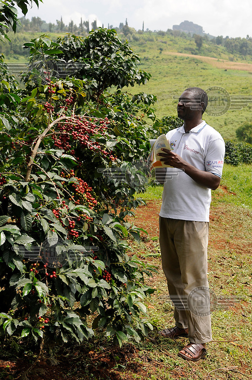 A man checks Arabica coffee berries at the Buginyana Agricultulral Research Insititute on Mount Elgon. Coffee is Uganda's main cash crop and crucial to local livelihoods but is under threat from rising temperatures. The coffee crops have been attacked by pests and cannot survivie past a maximum temperature of around 26 degrees centigrade.