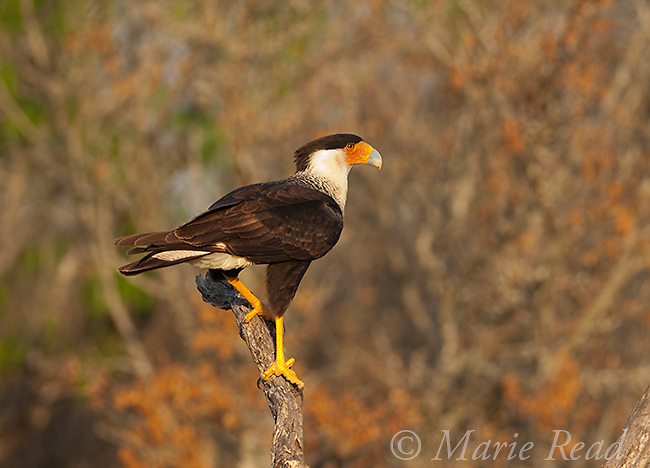 Crested Caracara (Caracara cheriway), adult, Rio Grande Valley, Texas, USA