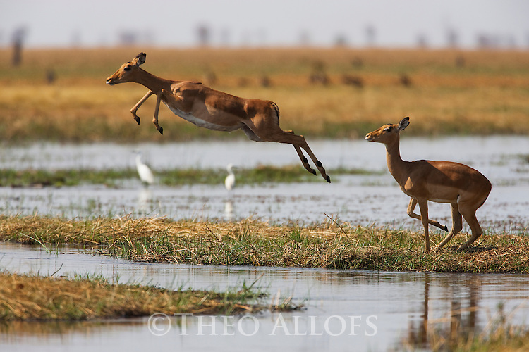 Botswana, Chobe National Park, Savuti Marsh, impalas jumping across water, (Aepyceros melampus)