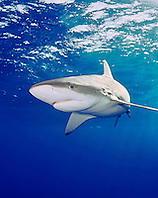 Galapagos sharks, Carcharhinus galapagensis, North Shore, Oahu, Hawaii, USA, Pacific Ocean