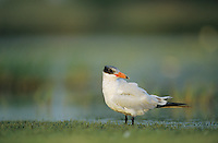 Caspian Tern, Sterna caspia, immature preening, Welder Wildlife Refuge, Sinton, Texas, USA, May 2005