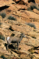 768507947 a wild bighorn sheep male or ram ovis canadensis poses on a rocky hillside near arches national park in central utah