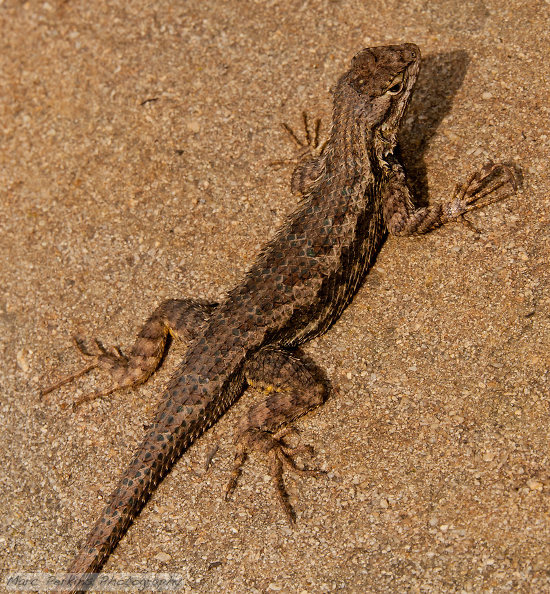 A western fence lizard, Sceloporus occidentalis, seen at Laguna Coast Wilderness Park.