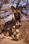 African wild dog pup, Botswana