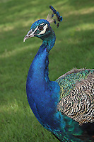 The Indian Peafowl is a resident breeder in the Indian subcontinent. The peacock is designated as the national bird of the Republic of India and the provincial bird of the Punjab (Pakistan).