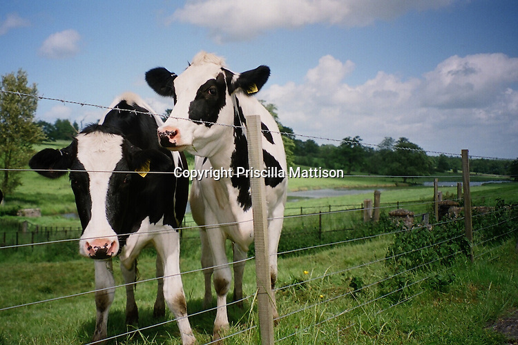 Holstein cows in a field in the Cotswolds, England.