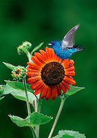 Indigo bunting in flight with blooming orange flower