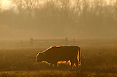 Backlit Highland Cattle grazing in meadow of Strumpshaw Fen RSPB Reserve, winter, Norfolk, UK