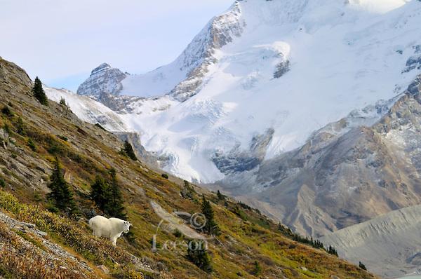 Mountain Goat (Oreamnos americanus).  Northern Rockies.  Fall.